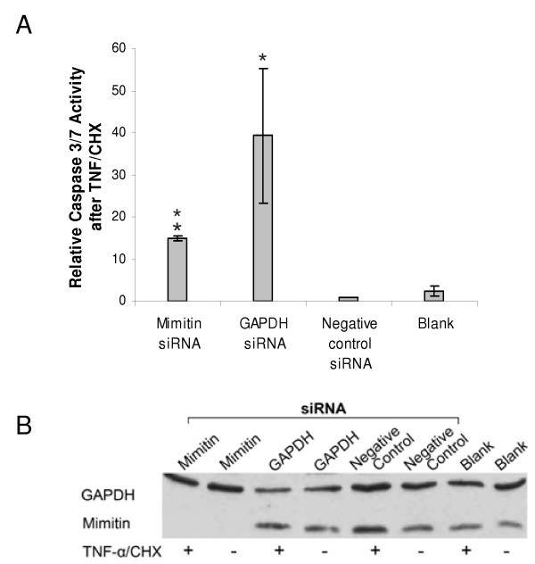 Effect of mimitin gene silencing on caspase 3/7 activities . HepG2 cells were transfected with mimitin-siRNA, GAPDH-siRNA, negative control siRNA, or transfection reagent (siPORT NeoFX) (blank). Apoptosis was induced 72 h post transfection by treatment of cells with TNF/CHX for 5 h. Caspase 3/7 activity was measured using Caspase-GloTM3/7 assay kit. A. Changes in caspase activity in cells with TNF/CHX-induced apoptosis were compared to cells treated with TNF/CHX and transfected with a negative control siRNA (assumed as equal 1). In each case the value of caspase 3/7 activity after TNF/CHX treatment was divided by the value of basal activity of non-stimulated cells. Values represent the mean of three independent experiments with error bars showing standard error (* p