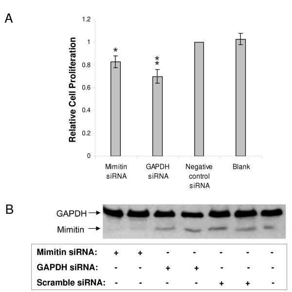 Effect of mimitin gene silencing on proliferation of HepG2 cells . Cells were transfected with silencing RNA specific for mimitin (50 nM), or for GAPDH (100 nM, positive control), or unspecific siRNA (negative control, 50 nM) or were treated with <t>transfection</t> reagent <t>siPORT</t> <t>NeoFX</t> alone (blank). At 72 h post transfection cells were incubated with BrdU (5 μM) for 3 h and incorporation was determined with Cell Proliferation ELISA. A. Cell proliferation is shown relative to the non-sepcific siRNA (control). Values were calculated from absorbance readings at 450 nm and represent the mean of three independent experiments with standard deviation (*p