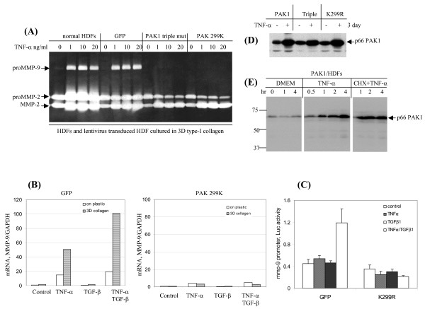 PAK1 mediates TNF-α-induced MMP-9 but not MMP-2 . (A) HDFs and the cells transduced by lentivrius expressing GFP or PAK1 variants (K299R, catalytic inactive) were cultured in 3D type-I collagen. After culture for 3 days with TNF-α at the indicated concentrations, the gelatinases in the conditioned medium were measured by zymography. (B) HDFs expressing GFP or a PAK1 variant were cultured on plastic or in 3D type-I collagen and treated by TNF-α or/and TGF-β for 16 hrs. The mRNA of MMP-9 was measured by real-time RT-PCR and normalized by GAPDH. The results are representative of three independent experiments. (C) The activities of 670-bp 5'-promoter of human MMP-9 were measured by transient transfection of HDFs expressing GFP or PAK1 mutant (K299R) with pGL2 reporter plasmids encoding firefly luciferase and CMV promoter driving renilla luciferase. The resultant cells were stimulated by cytokines for 16 hrs (n = 6). (D) HDFs ectopically expressed PAK1 protein were stimulated by TNF-α for 3 days. PAK1 protein was measured by Western blot analysis. Of note is the increased the viral promoter driven PAK1 protein in response to TNF-α. (E) HDFs expressing PAK1 were treated with or without TNF-α together with cycloheximide (20 μg/ml). At the indicated intervals the cells were harvested for Western blot analysis of PAK1.