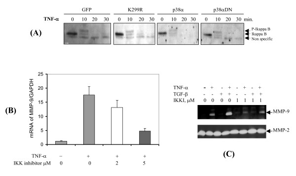 NF-κB pathway is required for MMP-9 expression, but is independent of PAK1 and p38 MAP kinase . (A) HDFs transduced by lentivrius expressing GFP, PAK1 (K299R), p38 MAP kinase, and its dominant negative ones were cultured on plastic and treated by TNF-α for the indicated intervals. Degradation of I-kappaB was measured by Western blot analysis. (B) HDFs were treated by TNF-α with IKK inhibitors at the indicated concentration for 6 hrs. The mRNA of MMP-9 was measured by real-time RT-PCR analysis. Results are from the average of three experiments. (C) HDFs were treated by TNF-α with IKK inhibitors at low concentration for 3 days. MMP-9 and -2 were measured by zymography.