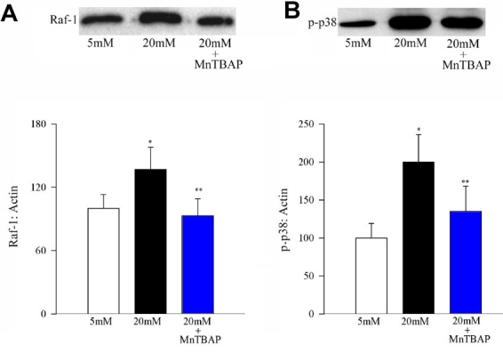 Effect of MnTBAP on glucose-induced activation of Raf-1 and phosphorylation of p38 MAP kinase. Activation of Raf-1 and phosphorylation of p38 MAP kinase were determined by Western blot using β-actin as a loading standard. Each sample was run in duplicate, and the experiment was repeated with three or more cell preparations. The histogram represents the density of Raf-1 ( A ), or p-p38 ( B ) band that has been adjusted to the density of β-actin band in the same lane. The ratio obtained from 5 mM glucose is considered as 100%. Asterisk (*) represent p