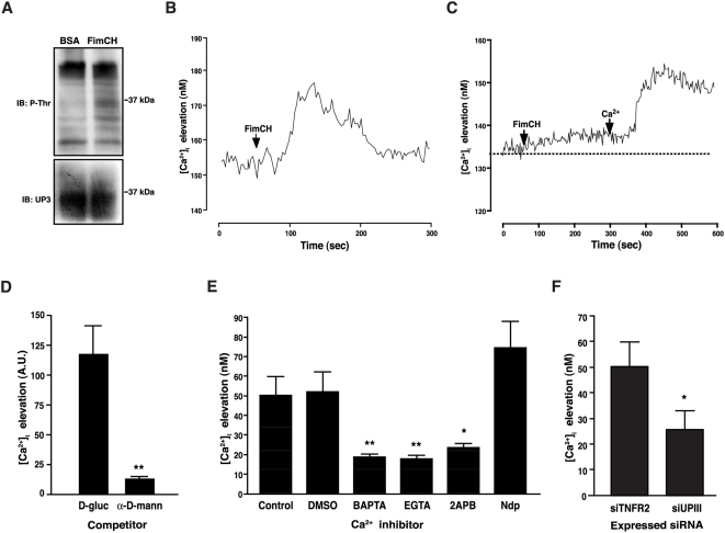 FimH induces UPIIIa phosphorylation and intracellular calcium elevation. (A) PD07i cells were stimulated with either 10 µg/ml FimCH or 10 µg/ml BSA for 30 minutes, and UPIIIa was immunoprecipitated from 100 µg cell extract with anti-UPIII antibody. Following electrophoresis and blotting, immunoprecipitated proteins were probed with an anti-phosphothreonine antibody (P-Thr). Blots were subsequently re-probed with an anti-UPIII antibody to determine total protein loading (UP3) (B) PD07i cultures were loaded with 5 µM Fura-2 and imaged for 5 minutes at 340 nm and 380 nm using real-time video fluorescence microscopy. FimCH (10 µg/ml) was added after establishing baseline Ca 2+ concentrations collection for 1 min (arrow). The trace is the mean of a representative experiment of three replicates. (C) Extracellular Ca 2+ is required for FimCH-induced urothelial Ca 2+ elevation. PD07i cells were loaded with 5 µM Fura-2 and imaged for 10 minutes in nominal Ca 2+ -free medium. Cells were then exposed to 10 µg/ml FimCH, imaged for 5 minutes followed by addition of Ca 2+ to a final concentration of 2.5 mM to the buffer solution and data were acquired for another 5 min. Baseline Ca 2+ concentration is represented by the dotted line. The trace is the mean of a representative experiment of three replicates. (D) FimCH-induced [Ca 2+ ] i elevation is inhibited by pre-incubation with α-D-mannoside. FimCH was pre-incubated for 30 minutes with 25 mM α-D-mannoside or D-glucose. PDO7i cells loaded with 5 µM Fluo-4 AM were treated with 10 µg/ml of the pre-incubated FimCH. PDO7i cells were imaged at 488 nm using real-time video fluorescence microscopy and maximal fluorescence after FimCH treatment was subtracted from baseline. (E) Chelating intracellular or extracellular Ca 2+ inhibits elevation of FimCH-induced [Ca 2+ ] i . PD07i cells loaded with 5 µM Fura-2 were pre-incubated with 10 µM BAPTA-AM, 4 mM EGTA, 60 µM 2-APB, 10 µM nifidepine (Ndp), or equivalent amounts of DMSO for 30 minutes