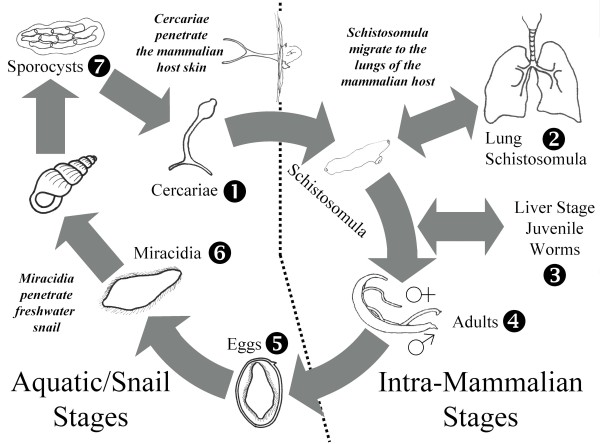The complex lifecycle of Schistosoma japonicum involves distinct free-living and parasitic stages (see text for details) . The numbers indicate the seven developmental stages investigated by microarray and real time PCR analysis.