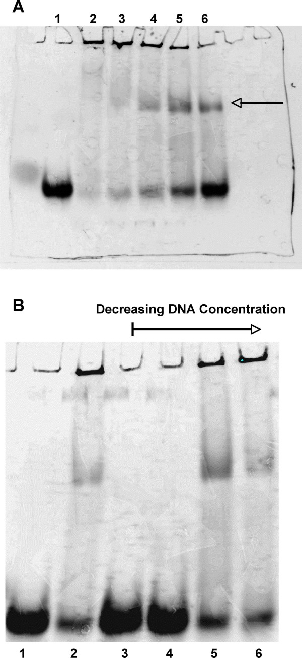 Electromobility shift analysis of IsaB . A . Purified recombinant IsaB was analyzed by EMSA assay using a fluorescently labeled RNA probe. IsaB shifted the RNA probe in a concentration dependent manner. A. Lane 1, RNA probe alone Lane 2, RNA probe + 3.84 nmol of IsaB, Lane 3, RNA probe + 1.92 nmol of IsaB, Lane 4, RNA probe + 960 pmol of IsaB, Lane 5, RNA probe + 480 pmol of IsaB, Lane 6, RNA probe + 240 pmol of IsaB. At the highest concentrations of IsaB, the RNA probe appeared to aggregate within the wells, while at lower concentrations of IsaB (lanes 4–6) a fraction of the RNA shifted (arrow) but some RNA still remained in the wells. B . Effect of salmon sperm DNA on shift; 480 pmol IsaB and 270 pmol labeled. RNA were added to each reaction. Lane 1, RNA probe alone, Lane 2, IsaB, + RNA probe, Lane 3, IsaB + RNA probe and 1.35 nmol unlabeled DNA, Lane 4, IsaB + RNA and 135 pmol unlabeled DNA, Lane 5, IsaB + RNA and 13.5 pmol unlabeled DNA, Lane 6, IsaB + RNA and 1.35 pmol unlabeled DNA.