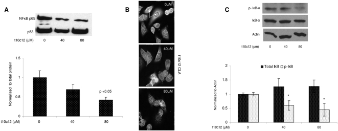 t10c12 CLA reduces nuclear p65 in SKBr3 cells. (A) Western blots of NFκB p65 in nuclear extracts. Cells were plated in 6-well plates, 3 wells per treatment. Cells from 3 wells were pulled and nuclear extract was obtained as described in Materials and Methods . 10 µg of nuclear extract was loaded into 10% gels. Gel electrophoresis and immunoblots were performed as described in Materials and Methods . Densitometry of bands was performed using Scion Image software Alpha 4.0.3.2. Protein expression of p65 was normalized to total protein and compared to levels in untreated cells (vehicle only) (* = 0.05). Values represent means +/− std error relative to vehicle control from 3 independent experiments. (B) Immunofluorescence of p65. Cells were treated as above. Immunoflourescence was performed as described in Materials and Methods . Top panel: vehicle; Middle pane: 40 µM CLA; Bottom panel: 80 µM CLA. Images were obtained using Delta Vision deconvolution microscope with SoftwoRX 3.5.0 software at 40× and optimized using Adobe PhotoShop CS2 version 9.0.2. (C) Western blot of total and phosphorylated IkappaB protein. Cells were plated and treated as above. 25 µg of whole cell lysate were loaded into 10% gels. Expression levels of IκB proteins were normalized to beta actin and compared to levels in untreated cells (vehicle only). Values represent means +/− std dev from 3 independent experiments (* = 0.05). Gel electrophoresis and immunoblots were performed as described in Materials and Methods . Densitometry of bands was performed using Scion Image software Alpha 4.0.3.2.