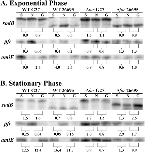 Direct Comparison of sodB Regulation in H. pylori Strains G27 and 26695. WT and Δ fur strains of G27 and 26695 were grown to exponential (A) and stationary (B) phase in iron replete and iron-limited (growth) media (60 µM dpp). After growth overnight, one-half of the exponential phase, iron replete culture was removed for RNA isolation. 200 µM dpp (final concentration) was added to create an iron-depletion shock condition to the remaining half of the iron replete cultures, and those cultures were grown for an additional hour prior to RNA isolation. The same procedure was applied the following day to the iron replete, stationary phase culture. After overnight growth, one-half of the iron-limited growth culture was removed for RNA isolation in exponential phase while the remaining half was allowed to grow into stationary phase, and RNA was isolated the following day. RNase Protection Assays (RPAs) were performed on RNA isolated from these strains using sodB , pfr , and amiE riboprobes. Data for Exponential phase cultures are shown in Panel A, and data for Stationary phase cultures are shown in Panel B. Fold-changes are indicated below each pair and were calculated by comparing either the relative amount of protected riboprobe in the iron-depletion shock environment (S) or the relative amount of protected riboprobe in the iron limited growth environment (G) to the iron replete lane (N). These data are representative of multiple independent experiments.