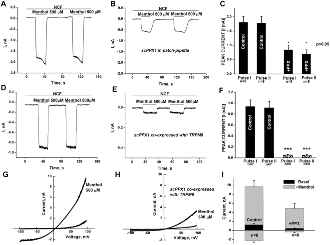 Inhibition of TRPM8 currents by scPPX1 in whole-cell patch clamp. Upper panels: Whole-cell patch clamp measurements of menthol-induced currents were performed at −60 mV in the whole-cell configuration on HEK cells expressing TRPM8, in nominally Ca 2+ -free solution (NCF), to avoid desensitization. Menthol pulses (500 µM) were applied in the first 3–5 min after establishment of whole-cell configuration: HEK-293 cells were transiently transfected with TRPM8 (0.4 µg) and co-transfected with GFP clone (0.2 µg) to allow detection of transfected cells. Panel A: the control. Panel B: the pipette solution was supplemented with 2.3 µg/ml scPPX1. Midle panels: Whole-cell patch clamp was performed on HEK-293 TRPM8 stable cell line, which was transiently transfected with GFP (0.2 µg) alone (panel D) or with scPPX1 clone (0.4 µg) and GFP (0.2 µg) (panel E). The summaries are shown in panel F. The protocol of experiment is the same as for the measurements in the upper panel. Lower panels: Current/Voltage relationships of TRPM8 channels obtained in whole-cell patch clamp performed at −100 +100 mV voltage ramps for HEK-293 TRPM8 stable cell line, which was transiently transfected with GFP (0.2 µg) alone (panel G) or with scPPX1 clone (0.4 µg) and GFP (0.2 µg) (panel H). The summaries are shown in panel I at −100 and +100 mV.
