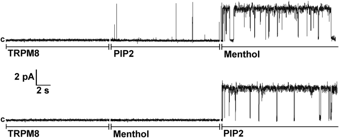 Activation of TRPM8 channels in Planar Lipid Bilayers by menthol and PtdIns(4,5)P 2 . Representative single-channel current recordings of TRPM8 channels incorporated in planar lipid bilayers formed from POPC/POPE (3∶1) in n -decane, between symmetric bathing solutions of 150 mM KCl, 0.2 mM MgCl 2 in 20 mM Hepes buffer, pH 7.4 at 22°C. 0.2–0.5 µl of 0.2 µg/ml TRPM8 protein (isolated from the plasma membrane of HEK-293 cells stably expressing TRPM8) was incorporated in POPC/POPE micelles, which were added to the cis compartment (ground). Clamping potential was +60 mV. Data were filtered at 50 Hz. Upper and lower traces consist of three segments with additions of components as indicated in the figure: 2 µM of diC 8 PtdIns(4,5)P 2 and 500 µM of menthol were added to both compartments. The current recordings are representative of a total of 22 independent experiments for the upper traces and 12 independent experiments for the lower traces.