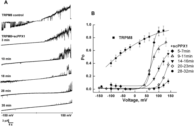 Voltage-dependence of TRPM8 before and after the treatment with scPPX1. A: Representative current traces recordings obtained at −150 +150 mV voltage ramps before and after the treatment with polyphosphatase in a time course at the beginning of 3 rd , 10 th , 18 th , 28 th and 33 rd minutes. B: The changes in open probability obtained at different voltages in gap free recordings for TRPM8 alone (▪) or after the treatment with scPPX1 for the following intervals of time: 5–7 min (♦), 9–11 min (Δ), 14–16 min (▾), 20–23 min (◊), and 28–32 min (•). Data were analyzed from overall of 16 experiments.