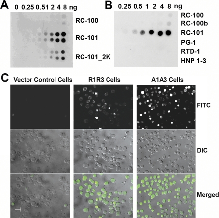 Immunofluorescence Staining of Stably Transfected HL60 Cells Reveals Retrocyclin Peptides (A) Retrocyclin peptides RC-100, RC-101, and RC-101_2K peptides (in duplicates) and (B) RC-100, RC-100b, RC-101, protegrin-1 (PG-1), rhesus theta defensin-1 (RTD-1), and human neutrophil peptides 1–3 (HNP 1–3) were dotted (0–8 ng/4 μl dot) on a PVDF membrane and subjected to immuno-dotblot analysis. (C) VC, R1R3, and A1A3 (100,000 cells each) were fixed onto glass slides and incubated with rabbit anti-RC-101 antibody followed by biotinylated goat anti-rabbit IgG secondary antibody and then stained using fluorescein isothiocyanate (FITC)-avidin. Slides were visualized using Zeiss Axiovert 200M microscope system at 40× magnification. The three rows show FITC staining, DIC, and the merged image, respectively. Scale bar represents 20 μm.
