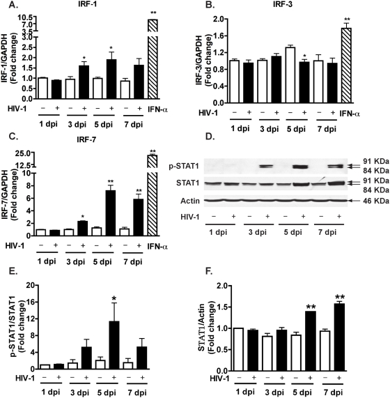 HIV-1 infection induces IRF-1 and IRF-7 gene expression and STAT1 phosphorylation at Tyr701 in macrophages. MDM were infected with HIV-1 and cell lysates and RNA were collected 1, 3, 5, and 7 days after infection. A–C. Real-time RT-PCR was used to detect IRF-1 (A), IRF-3 (B), and IRF-7 (C). Open bars represent control MDM and solid bars represent HIV-1-infected MDM. IFN-α (1000 Units/ml) was also used to stimulate MDM for 24 hours, the effect on IRFs expression is shown in each panel as the diagonal striped bar. D. Phospho-STAT1 (p-STAT1, Tyr701) and total STAT1 were detected by Western blotting. β-actin was used as a loading control. E. Levels of p-STAT1 were normalized as a ratio of p-STAT1 to STAT1 after densimetrical quantification of panel D and shown as fold change relative to control (1 dpi). F. Levels of STAT1 were normalized as a ratio of STAT1 to β-actin and shown as fold change relative to control (1 dpi). Results are shown as the average±SEM in experiments performed with three different donors. *, p