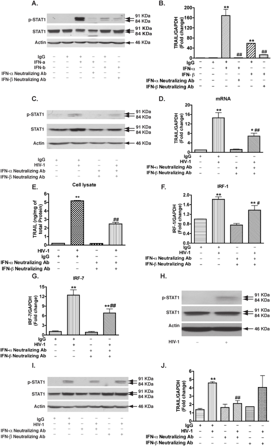 Type I interferon from HIV-1-infected macrophages induces STAT1 phosphorylation, IRF-1, IRF-7, and TRAIL expression. A. MDM were treated with IFN-α (1000 Units/ml) or IFN-β (1000 Units/ml) with or without their corresponding neutralizing antibodies. Cell lysates were collected 2 hours later and subjected to Western blotting for p-STAT1 and STAT1. β-actin was used as a loading control. B. 24 hours after the treatment, TRAIL expression was determined by real-time RT-PCR. ** denotes p