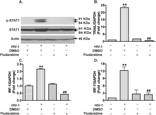 Fludarabine blocks HIV-1-induced STAT1 activation and gene expression of IRF-1, IRF-7, and TRAIL in macrophages. A. MDM were treated with fludarabine at 1 µM 3 days after infection. P-STAT1 and total STAT1 were detected by Western blotting at 5 days after infection. β-actin was used as a loading control. B–D. Real-time RT-PCR was used to detect TRAIL (B), IRF-1 (C), and IRF-7 (D). **, p