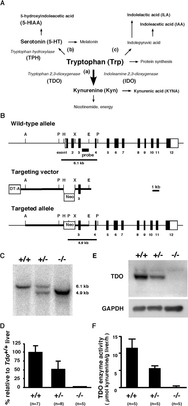 Generation of tdo -deficient ( Tdo -/- ) mice . (A) Schema of the Trp metabolic pathways. (a) the Kyn pathway. Over 95% of the dietary Trp is metabolized along this pathway. (b) the serotonin pathway. (c) the transamination pathway. (B) A targeting strategy for tdo gene disruption. Exons are represented as numbered boxes (coding regions; black boxes ). The probe for Southern blot analysis is indicated by a solid bar . Apa I, A; Pvu II, P; Hind III, H; Eco RI, E; Xba I, X; Neo , PGK-neomycin resistant cassette; DT-A , diphtheria toxin-A. (C) Southern blot analysis of representative progeny. Tail genomic DNA was digested with Pvu II for hybridization with a specific probe against the intron sequence between exons 3 and 4 of tdo . The expected sizes of the hybridized DNA fragment for Tdo +/+ (+/+) and Tdo -/- (-/-) mice are 6.1 kb and 4.9 kb, respectively. (D) Quantitative real-time RT-PCR for tdo mRNA expression in adult liver. Mouse tdo/gapdh of adult liver in Tdo +/+ mice was arbitrarily given a value of 100%. Values are means ± S.D. (E) Western blot analysis. Total liver homogenates were immunoblotted with TDO-specific antiserum. (F) Assay for TDO enzyme activity, determined in total liver lysates from 10-week-old animals of each genotype. Values represent means ± S.D.