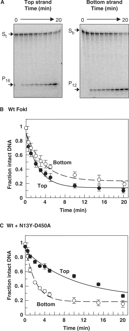 Strand selection by wt FokI. ( A ) The reactions, in Buffer 4 at 20°C, contained 5 nM wt FokI and 1 nM immobilized BIO-42,  32 P-labelled in either top or bottom strand. At various times after adding the enzyme, samples were removed from the reactions, quenched and subjected to denaturing PAGE. Phosphorimager records of the gels are shown: left, top-strand label; right, bottom-strand label. Time ranges are indicated above each gel and the electrophoretic mobilities of the intact (S t  or S b ) and cleaved strands (P 16  or P 12 ) marked on the left. ( B ) The amounts of the intact and the cleaved forms of the labelled strands were measured and the amounts of intact DNA are shown as a fraction of the total; top strand, black circles; bottom strand, white circles. ( C ) The reaction was identical to that in (B) except that it also contained 100 nM N13Y-D450A. In both (B) and (C), error bars denote standard deviations from ≥3 independent repeats and the lines drawn through each data set are best fits to single exponentials: top strand, solid line; bottom strand, dashed line. The best fits were obtained with: in (B), wt FokI, 0.4 min −1  and 0.3 min −1  for top and bottom strands, respectively; in (C), wt FokI and N13Y-D450A, 0.1 min −1  and 0.5 min −1  for top and bottom strands, respectively.