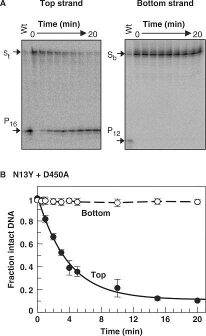 Strand-specific nicking. ( A ) A mixture of the N13Y and D450A mutants of the FokI endonuclease was added to immobilized BIO-42 to give a reaction with 10 nM N13Y, 10 nM D450A and 1 nM DNA in Buffer 4 at 20°C. The BIO-42 was 32 P-labelled in either the top (left-hand gel) or the bottom strand (right-hand). At various times after adding the mixture, samples were removed from the reactions, quenched and subjected to denaturing PAGE. Phosphorimager records of the gels are shown. The electrophoretic mobilities of the intact strands (S t and S b , from top- and bottom-strand labelled BIO-42, respectively) are noted on the left of the gels and the lanes marked Wt show the products from reactions of wt FokI on the same DNA species (P 16 from the top strand, P 12 from the bottom). ( B ) The fraction of the total amount of radiolabel in each lane still present as the intact DNA were measured and these values plotted as a function of reaction time: top strand, black circles; bottom strand, white circles. Error bars denote standard deviations from ≥3 independent repeats. The line drawn through the data from the top strand (solid line) is the best fit to a single exponential, which gave a rate constant of 0.3 min −1 . Data points for the bottom strand are connected by a dashed line.