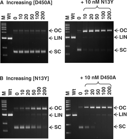 Specificity of nicking. The reactions, in Buffer 4, contained 5 nM SC pSKFokI (a plasmid with one recognition site for FokI) and FokI protein as indicated below. Reactions were stopped after 1 h at 37°C and the samples analysed by electrophoresis through agarose. The symbols SC, OC and LIN on the right of each gel mark the electrophoretic mobilities of the intact SC DNA, the nicked OC form cut in one strand and the LIN form cut in both strands at one site. The lanes marked M contain 1 kb electrophoresis markers (NEB), and the lanes marked Wt are from equivalent 1 h reactions of 10 nM wt FokI on pSKFokI. ( A ) Left-hand gel: the reactions contained D450A at the concentrations indicated above each lane (0 → 200 nM). In the right-hand gel, the reactions with 10 → 200 nM D450A also contained 10 nM N13Y. ( B ) As (A) except that the protein whose concentration was varied was N13Y and that, in the right-hand gel, the samples with varied N13Y also contained 10 nM D450A.