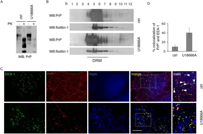 U18666A reduces PrP Sc levels and impairs PrP C trafficking in ScGT1 cells, without affecting PrP distribution in DRMs. (A) Levels of total PrP (PK−) or PrP Sc (PK+) were analyzed on western blot in control cells (ctrl) and cells treated with U18666A. Increased PrP C and decreased PrP Sc levels were observed in treated cells. (B) Lysates from control and U18666A treated ScGT1 cells were applied on sucrose gradients and ultracentrifuged at 200000 g for 16 hr. Twelve fractions were collected and proteins were precipitated using 10% of trichloroacetic acid. PrP and flotillin-1 contents in each fraction were analyzed on western blot using SAF61 mAb and flotillin-1 mAb. Fractions 4–7 correspond to detergent resistant membranes (DRM) based on distribution of flotillin-1, which is mainly present in DRMs. In ScGT1 cells PrP is distributed in DRMs and U18666A treatment does not change its distribution. (C) Steady-state localization of PrP C was analyzed in control (ctrl) and U18666A-treated ScGT1 cells. Yellow color and arrowheads represent colocalization between PrP C and EEA-1. Scale bars represent 10 µm (D) Quantification results are presented as % (mean±s.e.m, n = 80) of total PrP C signal (red) colocalizing with EEA-1 signal (green) (p = 0,014, t-test).