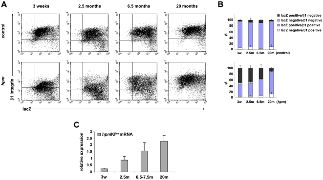 Keratinocytes escaping NMD increase β1 integrin expression and improve skin defects in old hpm mice. (A) Expression of lacZ and β1 integrin in primary keratinocytes from 3-week-, 2.5-month-, 6.5-month- and 20-month-old control and hpm mice assessed by flow cytometry. Keratinocytes were stained with an anti-β1 integrin antibody and subsequently incubated with a fluorogenic substrate (fluorescein di-β-D-galactopyranoside) to determine β-galactosidase activity. The expression of β1 integrin increases with the age of hpm mice. (B) Quantification of results from flow cytometry from at least 3 mice per genotype and developmental stage. Error bars indicate s.d. (C) Expression of the hpm KI lox transcript determined by quantitative RT-PCR analysis. RNA isolated from epidermal lysates from control and hpm mice at indicated ages was used as template for quantitative RT-PCR analysis with primers specific for the hpm KI lox RNA. Expression of the hpm KI lox RNA in hpm mice is shown relative to the expression levels of the hpm KI lox RNA in control mice. The abundance of the hpm KI lox transcript in hpm mice increases with age relative to control mice. 1 to 4 control and 3 to 5 hpm mice per age were analysed. Error bars indicate s.d.
