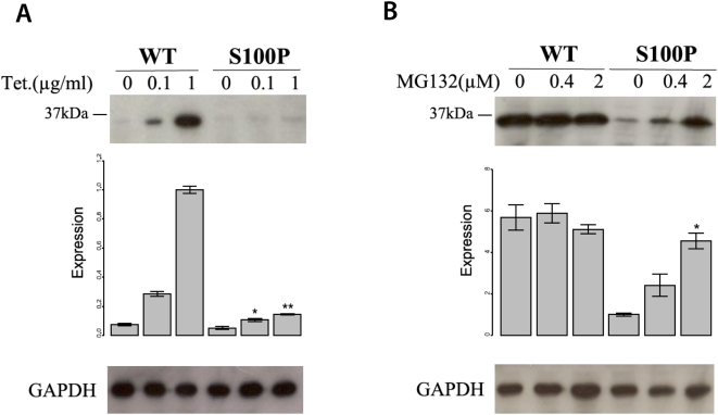 The mutation S100P reduces CA8 protein stability by means of proteasome-mediated CA8 degradation. (A) Reduction of CA8 protein concentration by S100P. Production of wildtype and mutant CA8 was induced by tetracycline. There was a strong reduction in the level of mutant CA8 protein compared to that of the wildtype at both 0.1, and 1.0 µg/ml tetracycline. *: , **: , comparison between mutant and wildtype at the indicated tetracycline concentration by two-sided t -test. The expression is represented as signal intensity ratio between CA8/GAPDH, which was normalized to the WT level induced by 1 µg/ml tetracycline. Mean values±standard deviation (SD) in triplicate experiments are shown. (B) Rescue of mutant CA8 protein expression by proteasomal inhibition. Addition of the proteasome inhibitor MG132 lead to a dose-dependent rescue of CA8 concentration. *: , comparison between 0 µM MG132 and 0.4 µM or 2.0 µM MG132. Expression is shown as ratio relative to that of the mutant CA8 protein (S100P) without MG132. Mean values±SD in triplicate experiments are shown.