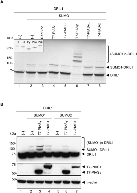 PIASy is an E3 SUMO ligase for DRIL1. (A) In vitro sumoylation assay performed with 35 S-labeled in vitro -translated wt DRIL1, in vitro -translated PIAS1, PIAS3, PIASy, PIASxα, PIASxβ or recombinant RanBP2 and incubated in a sumoylation mix containing purified E1, E2, ATP and SUMO1. 10% of the in vitro -translated PIAS1 (P1), PIAS3 (P3), PIASy (Py), PIASxα (Pxα), PIASxβ (Pxβ) were 35 S-labeled in vitro -translated for input control (inset). (-) for empty vector. (B) 293T cells co-transfected with wt DRIL1, T7-PIAS1, T7-PIASy, SUMO1 or SUMO2 constructs. Lysates were Western blotted using antibodies against DRIL1, T7 and β-actin as loading control. (-) for empty vector.