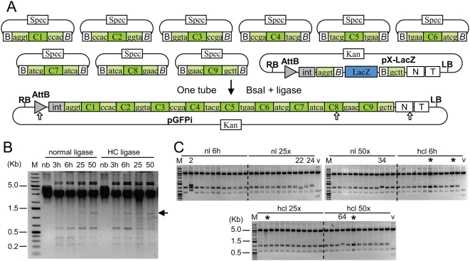 Assembly of a GFP construct from 10 plasmids. (A) Construct maps. Input modules contain a core region C flanked by <t>BsaI</t> restriction sites in opposite orientation composed of a recognition site (B, ggtctcn, B , ngagacc) and a 4 nucleotide cleavage site (boxes flanking the core region). pX-LacZ, acceptor vector. pGFPi, resulting construct. Restriction sites for AvrII and XmaI are shown as white arrows. (B) Ethidium bromide-stained gel with products obtained by restriction-ligation of the 9 input module plasmids. M: GeneRuler 1kb <t>DNA</t> Ladder Plus from Fermentas. Restriction-ligation was performed at 37°C for 3 (lane 3h) or 6 hours (lane 6h) or with 25 cycles (2 min 37°C+5 min 16°C, lane 25) or 50 cycles (lane 50), and without BsaI enzyme (lane nb). The arrow indicates the 1.17 kb linear assembled GFP gene product. (C) Ethidium bromide-stained gels of 72 minipreps digested with XmaI and AvrII (expected fragment sizes: 4.6 kb, 945 and 555 bp), obtained from restriction-ligations performed for 6 h 37°C (6 h), for 25 or 50 cycles (25×/50×), with normal ligase (nl) or high concentration ligase (hcl). Numbers indicate minipreps with an incorrect restriction pattern, and stars indicate constructs that consist of dimers (same restriction pattern as monomers). V, vector pX-lacZ.