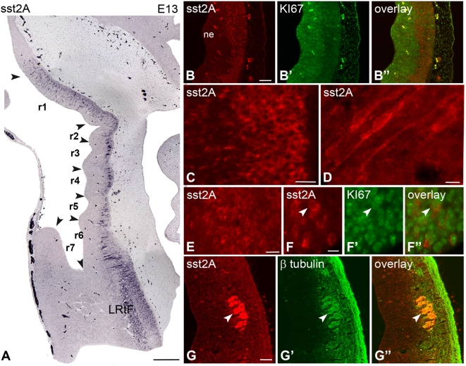 Regional and cellular localization of the sst2A receptor immunoreactivity in sagittal sections of the rat rhombencephalon at embryonic day 13 (E13). A) Densely packed sst2A receptor-immunoreactive cells are observed in the marginal zone contiguous to the ventricular zone of the rhombomeres (r1 to r6, arrowheads) and in the lateral reticular formation (LRtF). B–B″) Sst2A receptor-immunoreactive cells (red) are localized in the marginal zone (B) whereas proliferating cells identified by the proliferation marker Ki-67 (green) are concentrated in the ventricular zone (B′). The lack of overlap between the two signals (B″) indicates that sst2A receptor-expressing cells are predominantly post-mitotic. C) The majority of sst2A receptor-immunoreactive cells have small round perikarya and some exhibit immunolabeled processes that are oriented perpendicularly to the ventricular surface. D) A few sst2A receptor-immunoreactive cells are bipolar, displaying the morphological features of migrating neurons. E) In the LRtF, cell bodies are strongly sst2A receptor-immunoreactive. F–F″) An sst2A receptor-immunoreactive cell (red in F, F″) of the LRtF is found to be Ki-67-positive (green in F′, F″) (arrowheads). The low percentage of colocalization (F″) indicates that the majority of receptor-expressing cells are post-mitotic. G–G″) The post-mitotic feature of most sst2A receptor-immunoreactive cells (red in G, G″) of the rhombencephalon is further indicated by the colocalization (G″) with the post-mitotic neuronal marker β-tubulin (green in G′, G″) (arrowheads), as illustrated in the facial nucleus. Scale bars: A, 250 µm; B–B″, G–G″, 50 µm; C, E, 20 µm; F, 10 µm.