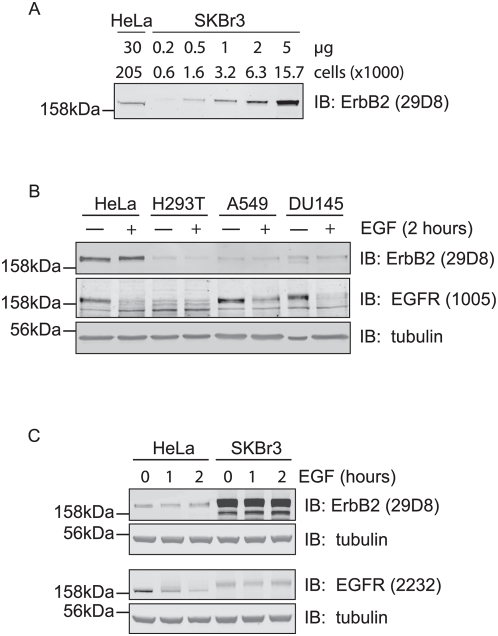 ErbB2 escapes EGF induced down-regulation. A, Comparison of ErbB2 receptor levels in HeLa and SKBr3 cells. Cell lysate samples corresponding to the indicated number of cells were separated by SDS-PAGE and immunoblotted with ErbB2 antibodies and IR800-coupled secondary antibodies. The relative amount of ErbB2 per cell was calculated based on Odyssey scans as discussed in Materials and Methods . B, HeLa, HEK293T (H293T), A549, and DU145 cells were stimulated with 100 ng/ml EGF for 2 hours and lysed in parallel with unstimulated cells. The lysate was subjected to SDS-PAGE and immunoblotting with EGFR, ErbB2, and tubulin antibodies. EGFR is down-regulated after 2 hours stimulation, but ErbB2 remains stable. C, HeLa and SKBr3 cells were treated with 100 ng/ml EGF for 1 or 2 hours and analysed by immunoblotting with EGFR and ErbB2 antibodies. No EGFR was detected in SKBr3 cells. Note that EGFR antibody (2232) cross-reacts with high levels of ErbB2 in SKBr3 cells.