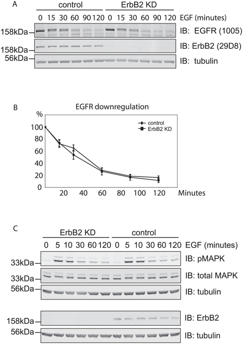 Effects of ErbB2 depletion on EGFR down-regulation and downstream signaling in HeLa cells. A. HeLa cells were treated with ErbB2 siRNA or oligofectamine transfection reagent (control) for 48 hours before stimulation with 100 ng/ml EGF for various time periods. Lysates were analysed by immunoblotting with EGFR and ErbB2 antibodies. B. quantitation of A showing EGFR down-regulation was not significantly affected (data averaged from 3 experiments). C. HeLa cells were treated as in A and incubated with 10 ng/ml EGF for different time periods and lysed. Lysate was analysed by immunoblotting with ErbB2, pMAPK, MAPK, and tubulin antibodies. Levels of total MAPK and pMAPK were not affected by ErbB2 knock-down.