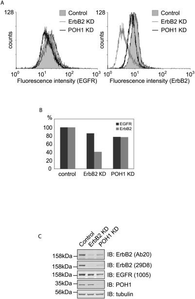 Cell surface levels of ErbB2 are relatively insensitive to POH1 knock-down. A, HeLa cells were treated with ErbB2, POH1 siRNA or oligofectamine alone for 48 hours before detachment with 2 mM EDTA. One million cells from each condition were labelled with FITC-conjugated ErbB2 and phycoerythrin (PE) conjugated EGFR antibodies and then analysed by flow cytometry. B, quantification of A shows relative amounts of fluorescence for each condition. C, samples from A were analysed by immunoblotting with ErbB2 (Ab20 and 29D8), EGFR, POH1, and tubulin antibodies.