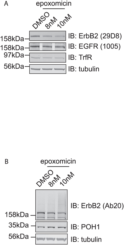 """Chronic treatment with a proteasome inhibitor replicates effects of POH1 depletion on ErbB2. HeLa cells were incubated with epoxomicin (8 nM or 10 nM) or DMSO for 48 hours (fresh inhibitors were applied at 24 hours). Cell lysates obtained by """"hot lysis"""" were subjected to SDS-PAGE followed by immunoblotting with ErbB2, EGFR, TrfR, POH1, and tubulin antibodies. Epoxomicin treatment resulted in the apparent loss of ErbB2 and concomitant appearance of a high molecular weight smear."""