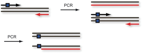 DNA polymerization by PCR using a caged primer (17 nt) containing the first caged thymidine (blue square) 10 nt from the 5′ end. PCR generates a caged template which results in a stop of Taq and Pfu polymerase due to the presence of a single-caged thymidine.