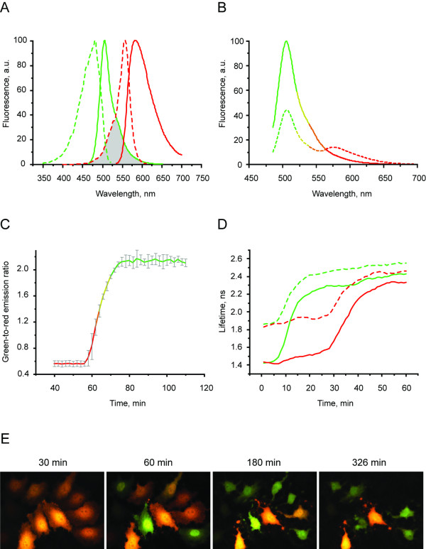 Spectral response and caspase sensing of CaspeR3 . A. Excitation (dashed lines) and emission (solid lines) spectra for TagGFP (green) and TagRFP (red). Spectral overlap is filled with gray. B. Emission spectra of CaspeR3 before (dashed line) and after digestion by <t>Caspase</t> 3 (solid line). C. Green-to-red emission ratio change of CaspeR3 upon staurosporine-induced apoptosis. Approximately 40–50 min after staurosporine infusion, cells demonstrated pronounced changes fluorescence signal ratio. Emission ratio shown for 5 cells, time point aligned to the median of ratio changes, individual for each cell. Excitation at 488 nm, emission was detected at 500–530 nm and 560–600 nm. D. TagGFP fluorescence lifetime τ φ (solid lines) and τ M (dashed lines) changes for CaspeR3 during staurosporine-induced apoptosis. Excitation was at 488 nm and donor fluorescence emission was passed through a 500–530 nm bandpass filter. E. Two channel fluorescence imaging of CaspeR3 upon staurosporine-induced apoptosis in HeLa cells. Time, in minutes, is shown after staurosporine infusion.