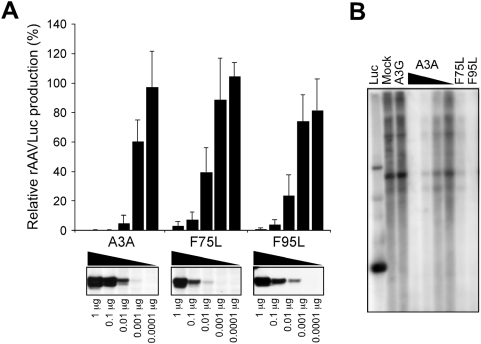 A3A mutants inhibit AAV DNA replication. (A) Titration of wild-type and mutant A3A expression vectors in rAAVLuc production assays. Production of rAAVLuc was assessed by transduction of target cells and quantitation of luciferase activity. Presented is the average of four independent experiments normalized to vector alone control (mock). The panels below show immunoblots to detect HA-tagged wild-type and mutant A3A proteins in transfected 293T cell lysates. (B) Southern blot detection of low molecular weight DNA extracted from 293T cells transfected for rAAVLuc production in the presence of mock (1 µg) A3G (1 µg), A3A (1, 0.1, 0.01 and 0.001 µg) and mutant A3A expression vectors (1 µg). The DNA was digested with Dpn -I, separated by gel electrophoresis, and hybridized with a radiolabeled luciferase probe.