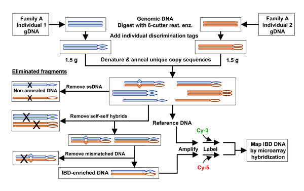 Physical IBD enrichment process . Genomic DNAs (gDNA) are isolated from two related, afflicted individuals and digested with a restriction enzyme that leaves Exonuclease III-resistant ends and generates fragments of about 4 Kb. DNA fragments are modified (diamonds or ovals) to permit discrimination between the individuals, for example by presence or absence of methylation at GATC sequences. The fragments are mixed, denatured and renatured under conditions to favour unique copy reannealing. Non-annealed strands and hybrids of strands from the same individual are eliminated. Reannealed DNA fragments with one strand from each individual are called heterohybrids, which may be perfectly paired due to inheritance of both strands from the same ancestral sequence or mismatched due to variation between different ancestral sequences. Mismatched heterohybrid fragments are removed by LSHase, a nucleolytic cocktail of MutL, MutS and MutH, and subsequent digestion by Exonuclease III. The resulting IBD-enriched DNA is generically amplified, labelled and mapped by two-colour hybridization to genomic topographic arrays, using the reannealed DNA as reference. The process is repeated for other afflicted pairs in the same family and in additional families. Variations include use of oligonucleotides as discrimination tags, reducing the number of steps by combining similar intermediate purification procedures, and eventually mapping IBD regions by high throughput redundant sequencing, with or without amplification.