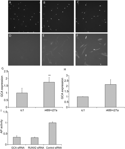 Negative effect of miRNAs, miR-489 and -27a, on osteogenesis in hMSC is, at least in part, mediated by repression of GCA gene expression. (A–G) Transfection with inhibitors of miR-489 and -27a results in up-regulation of GCA protein expression. (A–F). hMSC were transfected with control molecule, ic1 (25 nM) or with combination of inhibitors, i489+i27a (12.5 nM each). GCA protein expression was determined by immunofluorescence as described in Materials and Methods . Cells were stained with Hoechst 33342 (A–C) and GCA specific primary antibody, followed by a secondary antibody (E,F). Control wells were treated with secondary antibody only and demonstrate no specific staining (D). (G) Quantitation of GCA immunohystochemistry. Data shown represents three independent transfections, four fields each. (mean+/−SD). ** - Student's ttest p value between treated cells and corresponding control group, p