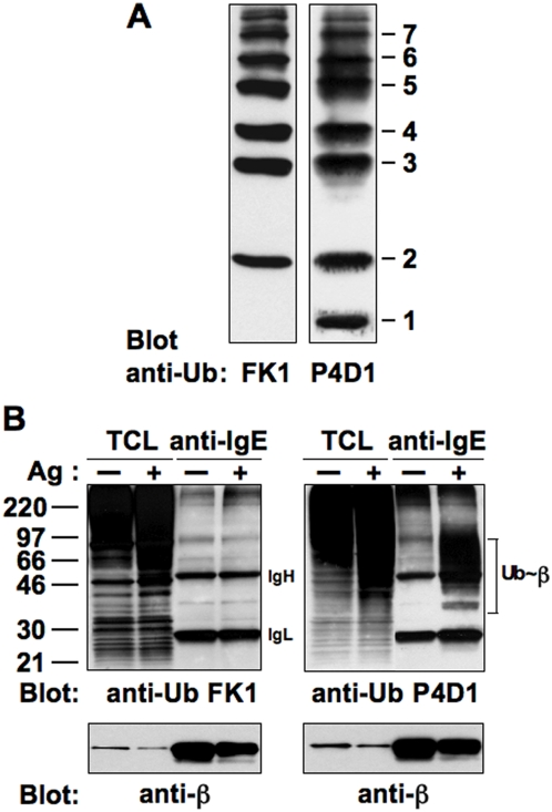FcεRI is preferentially monoubiquitinated at multiple sites upon Ag binding. (A) The ability of <t>P4D1</t> and FK1 anti-Ub mAbs to recognize a single Ub molecule or a poly-Ub chain, respectively, was tested by Western blotting using an Ub ladder. (B) RBL-2H3 cells (4×10 7 /sample) were sensitized with anti-DNP IgE, and stimulated (+) or not (−) with DNP-HSA (Ag) for 1 min at 37°C. Total cell lysates (TCL) and anti-IgE immunoprecipitates were resolved by SDS-PAGE and immunoblotted with the indicated Abs.