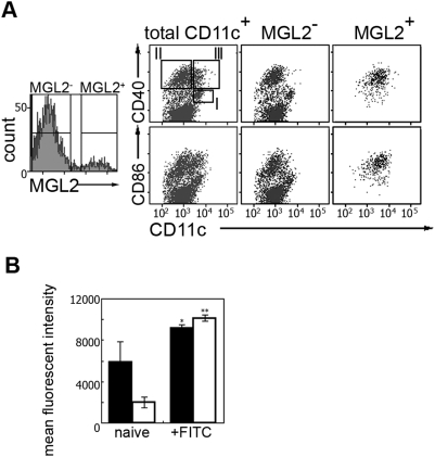 Expression of co-stimulatory molecules in MGL2 + DDC revealed by the flow cytometric analysis. (A) CD40 and CD86 staining on MGL2 + DDC in naive cutaneous LNs. MACS-purified CD11c + DCs were sub-divided into MGL2 + DDCs and MGL2 − DCs (left panel). Populations I-III indicate known cDC subsets in murine LNs. Note that MGL2 + DDCs were exclusively assigned to population III (CD11c hi CD40 hi DC). (B) Mean fluorescent intensity of CD40 (filled bars) and CD86 (open bars) staining of MGL2 + DDCs after FITC sensitization in the LN. * p