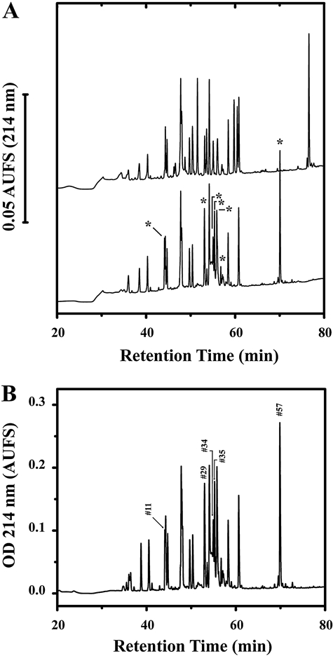 Identification and purification of disulphide-bonded peptides from a tryptic digest of Pf332 DBL domain. A. Comparison of the analytical <t>RP-HPLC</t> elution profiles for DTT-reduced and non-reduced tryptic digest of refolded Pf332 DBL domain. Reduced (upper trace) and non-reduced (lower trace) digests (20 μg) were fractionated on a Vydac <t>C18</t> (4.6 mm inner diameter × 250 mm) column under identical chromatographic conditions. The column was developed at a flow rate of 1 ml min −1 with a linear 120 min gradient from 0 to 70% buffer B, where buffer A was 0.05% (v/v) trifluoroacetic acid in Milli Q water, and buffer B was 0.05% (v/v) trifluoroacetic acid in acetonitrile. Asterisk-labelled peaks within the non-reduced chromatogram represent those altered by DTT reduction. B. Preparative scale RP-HPLC purification of peptides from the tryptic digest of Pf332 DBL domain. A total of 125 μg of digest was fractionated by elution from a Vydac C18 column (4.6 mm inner diameter × 250 mm) column using the elution conditions described in (A). Peptide fractions found to contain disulphide-bonded peptides by Edman degradation and mass spectrometry are indicated by peak numbers and correspond to those given in Table 1 (see Experimental procedures for further details).