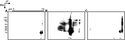 Detection of carbonyl groups formed in proteins during IEF: Day 1 zebrafish embryo protein samples were resolved by 2-DE, and the IEF was performed in rehydration buffer containing 1 mM bPA in the (A) absence or (B) presence of 20 mM NaCl or (C) under priming IEF in the presence of 20 mM NaCl at a maximal voltage of 500 V for 200 voltage hours followed by in-gel dialysis and refocusing IEF in rehydration buffer containing 1 mM bPA. Streptavidin-peroxidase blot overlay was used to probe the biotin−pentylamine adducts to reduced proteins.