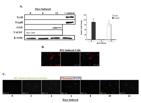 Expression of CNS neurotransmitters in uninduced and induced MSCs. A. Whole cell extracts from uninduced (D0) and induced (D6 and D12) MSCs were prepared and analyzed by western blots with anti-tyrosine hydroxylase (TyrH), -tryptophan hydroxylase (TrypH), -glutamic acid decarboxylase (GAD) and -vesicular acetylcholine transporter (VAChT). Normalizations were performed with anti-β-actin. Human brain extract served as positive control. Representative blots are shown for three different experiments. Band densities were quantified and normalized to total protein. Results are presented as mean ± SD relative fold change, where the lowest value is arbitrarily assigned a value of 1. B. D12 induced cells were labeled with PE-anti-GAD and then counter-labeled with DAPI. Figure shows representative labelings of five different experiments. Images are shown at 20X magnification. C. Uninduced and induced MSCs were labeled at 2 day intervals, up to 12 days, with PE-anti-glutamate and then counterlabeled with DAPI. Relative fluorescence intensities were normalized to values for uninduced cells, which were arbitrarily assigned a value of 1. Figure shows representative labelings of five different experiments. Images are shown at 10X magnification.*p