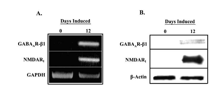 Expression of GABA and glutamate receptors in uninduced (D0) and induced (D12) MSCs. A. Total RNA from D0 and D12 cells was studied for expression of the GABAA A receptor β1 subunit and NMDA1 receptor by RT-PCR. Normalizations were performed with oligonucleotides specific for GAPDH. Representative gel is shown for three different experiments. B. Whole cell extracts from D0 and D12 cells were prepared and analyzed by western blots with anti-GABAAR-β1 and anti-NMDAR1. Normalizations were performed with anti-β-actin. Representative blots are shown for three different experiments.