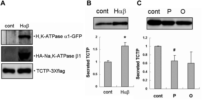Increased TCTP secretion by over-expression of proton pump is inhibited by pantoprazole in HEK293. (A) Comparison of protein expressions in control and Hαβ samples. Control sample was transfected with two empty vectors (pEGFP-N1 and pcDNAI-neo) and TCTP-3Xflag construct. Hαβ sample was transfected with rat H + /K + -ATPase α1-GFP, HA-rat Na + /K + -ATPase β1, and TCTP-3Xflag constructs. WB: anti-GFP Ab (purified rabbit polyclonal antibody, InVitrogen), anti-HA Ab (mouse 12CA5 monoclonal antibody, Santa Cruz), and anti-flag Ab, (B) TCTP secretion is increased by over-expression of H + /K + -ATPase α1 and Na + /K + -ATPase β1. Both groups of cells were incubated for 3 h in conditioned media. WB: anti-flag Ab, (C) The secretion assay data for the cells transfected with H + /K + -ATPase α1, Na + /K + -ATPase β1, and TCTP. Pantoprazole (1 mM) or omeprazole (1 mM) was treated during 3 h secretion assay. 'O' in the graph means omeprazole and 'P' does pantoprazole. WB: anti-flag Ab. Data of panel B and panel C represent means±S.D. from three independent experiments. #: inhibition, p