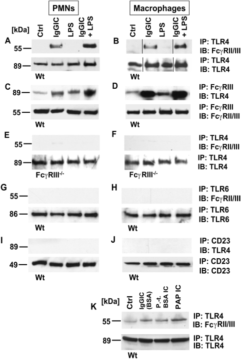 Association between TLR4 and FcRγIII. Peritoneal PMNs and macrophages (3×10 6 cells/ml) from Wt mice and FcRγ-subunit −/− mice were incubated in vitro for 30 min with either IgG immune complexes (IgGIC; 100 µg/ml), LPS (20 ng/ml), or the combination. (A,B) Western blot analysis (IB) for FcγRIII of Wt PMN or macrophage lysates co-immunoprecipitated (IP) with anti-TLR4. (C,D) Reverse direction immunoprecipitation using anti-FcγRII/III IgG followed by Western blot analysis for TLR4. (E,F) Western blot analysis for FcγRIII of PMNs or macrophages from FcγRIII −/− co-immunoprecipitated (IP) with anti-TLR4. (G,H) Samples were immunoprecipitated with anti-TLR6 IgG and probed for FcγRIII. (I,J) Immunoprecipitation with anti-CD23 followed by Western blots using anti-TLR4 IgG. (K) Western blots (IB) of cell lysates of Wt macrophages that were incubated for 30 min with BSA IgG immune complexes (IgGIC; 100 µg/ml), polymyxin-treated BSA IgG immune complexes (p.-t. BSA IC; 100 µg/ml) or peroxidase/anti-peroxidase IgGIC immune complexes (PAP IC, 100 µg/ml). IB for FcγRIII of Wt macrophage lysates co-immunoprecipitated (IP) with anti-TLR4. Corresponding loading controls are displayed in lower panels.