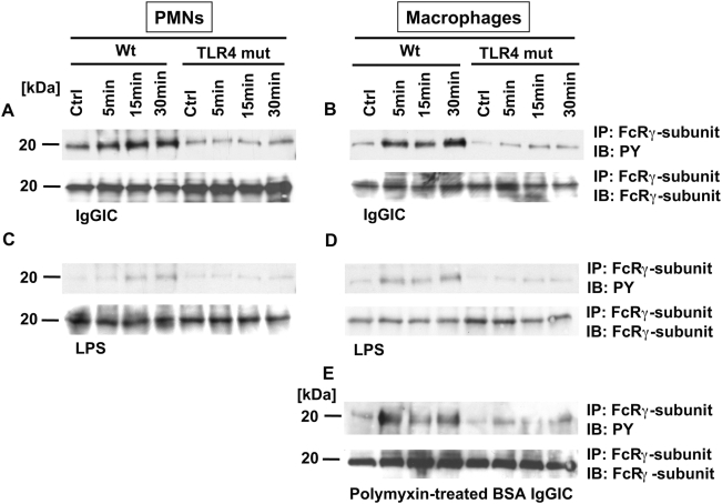 Western blot analysis for tyrosine-phosphorylated (PY) FcRγ-subunit of PMN or macrophage lysates after in vitro incubation. (A,B) 3×10 6 cells/ml from either Wt or TLR4 mut mice were incubated for 5, 15, and 30 min with IgG immune complexes (IgGIC; 100 µg/ml). (C,D) The same protocol was used for stimulation with LPS (20 ng/ml). (E) Lysates from either Wt or TLR4 mut mice that were incubated with polymyxin-treated BSA immune complexes (100 µg/ml) under the same conditions as described above. Corresponding loading controls are displayed in the lower panels.