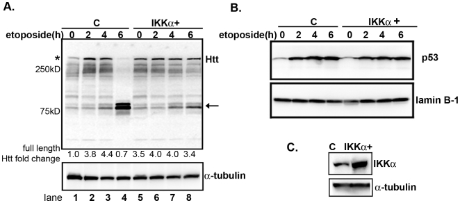 Etoposide promotes Htt proteolysis and that is inhibited by elevated IKKα expression. (A) EGFP and IKKα-transduced neurons were treated with 10 µM of etoposide for the indicated times. Extracts were examined for Htt by Western blotting. The top panel shows staining with anti-Htt (mAb 2166) antibody. The asterisk indicates full-length endogenous Htt and the arrow shows the cleaved products. The second panel shows staining for tubulin. Fold changes for full-length Htt levels were obtained by measuring the band intensity in each lane, normalized to tubulin and compared to non-treated control. (B) p53 accumulates in the nucleus of etoposide treated neurons. Nuclear extracts from MESC2.10 neurons were examined for the presence p53 by Western blotting. Lanes 1–4 are nuclear extracts from MESC2.10 neurons with EGFP and lanes 5–8 are from neurons that were transduced with IKKα lentiviruses ( Fig. 1C ). Staining with anti-lamin B1 was used to ensure equal loading (bottom panel). (C) Western blot analysis of IKKα levels in the control and IKKα-expressing neurons. MESC2.10 neuroblasts were transduced with an IKKα recombinant lentivirus and differentiated as described in M M. EGFP lentivirus was used as a control. Top panel shows the Western blot for IKKα and bottom panel is staining of the same blot for tubulin.