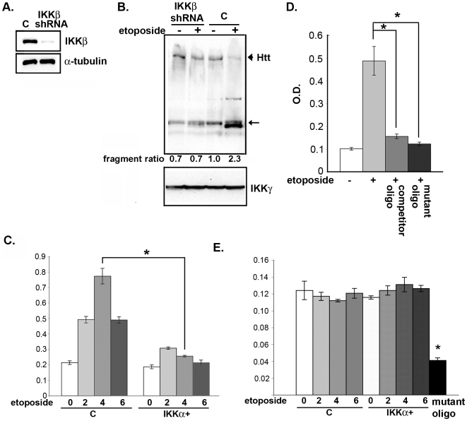 Inhibition of IKKβ prevents proteolysis of Htt induced by etoposide. (A) MESC2.10 neurons were transduced with a control or lentivirus expressing specific anti-IKKβ shRNA. The level of IKKβ protein was examined by Western blotting with an anti-IKKβ antibody. Bottom panel shows staining of same blot for α-tubulin. (B) Inhibition of etoposide-induced Htt cleavage by silencing of IKKβ. Control or MESC2.10 neurons with silenced IKKβ were treated with etoposide for 6 hrs and examined for Htt cleavage (lanes 1 and 2) as described in Fig. 3A . Arrowhead indicates position of full length Htt, and the arrow shows the position of the major cleaved product. The second panel shows IKKγ levels used as a loading control. (C) DNA binding activity of P65 NF-κB is increased by etoposide and is suppressed by IKKα. Binding to consensus NF-κB oligonucleotides and detection was described in M M. Lanes 1–4 show p65 binding from nuclear extracts of control and lanes 5–8 are from neurons transduced with a lentivirus expressing IKKα ( Fig. 3C ). Bars indicate S.E.M. and asterisk shows significant difference between control and IKKα+ neurons treated with etoposide for 4 hr, P