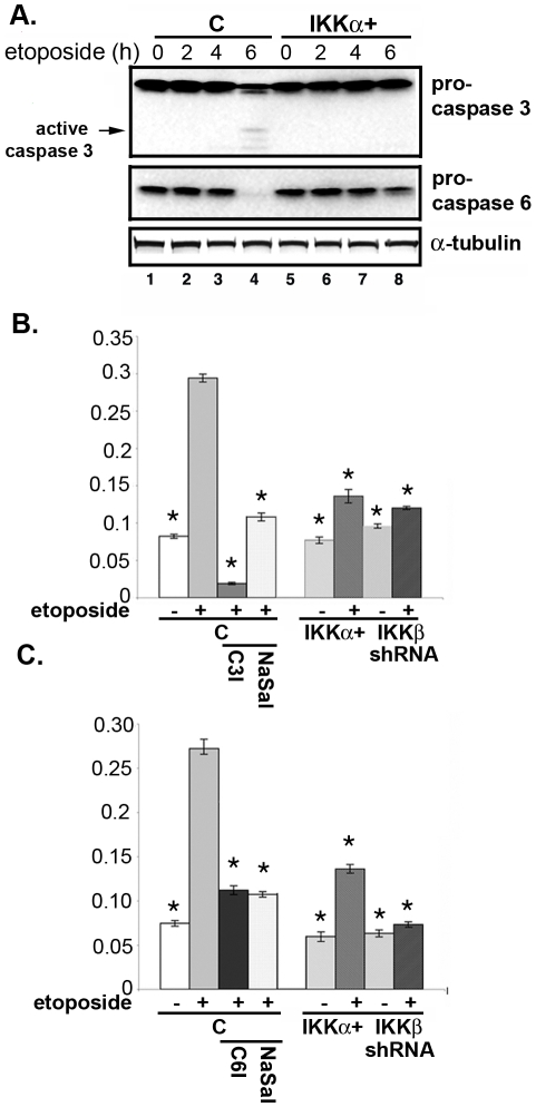 IKKs influence etoposide-induced activation of caspases. (A) Activation of caspase-3 and caspase-6. MESC2.10 neurons were treated with etoposide as in figure 3A and examined for the levels of procaspase-3 (top panel) or procaspses-6 (middle panel) by Western blotting. Arrow shows the cleaved products of procaspase-3. (B and C) Caspase-3 (B) and caspase-6 (C) activities are shown in MESC2.10 neuronal lysates. For the specific inhibitors neurons were first pretreated with 20 µM of Ac-DEVD-CHO, caspase-3 inhibitor (C3I) or 20 µM of Ac-VEID-CHO, caspase-6 inhibitor (C6I), or 5 mg/ml of sodium salicylate (NaSal) one hr prior to etoposide treatment for 6 hrs. Extracts were incubated with either caspase-3 substrate (DEVD conjugated to p-nitroanaline) or caspase-6 substrate (VEID conjugated to p-nitroanline) in a 96 well plate at 37°C for 1 hr. Enzyme activities for caspase-3 (B) or caspase-6 (C) were measured in a microplate reader. Results are shown as relative enzyme activity and represent averages of three experiments. Bars indicate S.E.M. and asterisk shows significant difference from etoposide treated control neurons (column 2), p