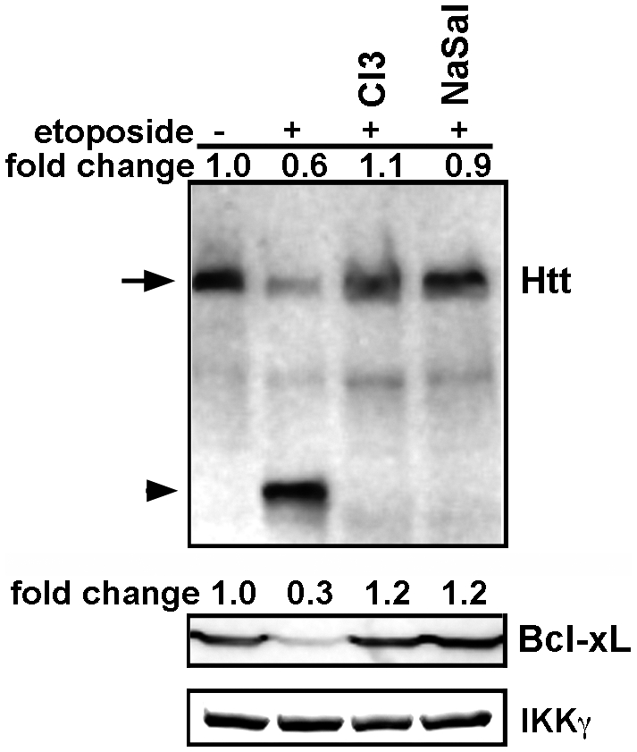 Etoposide induces proteolysis of endogenous mutant Htt in neurons striatal (Hdh Q111/Q111 ) neurons. The caspase-3 inhibitor (C3I, 20 µM) and sodium salicylate (NaSal, 5 mg/ml) were added 1 hr prior to the addition of 10 µM etoposide for 6 hrs. Processing of samples was as described in figure 3A . Top panel shows Western blot analysis of lysates for Htt. Arrow indicates the full-length Htt and the arrowhead shows the cleaved products (∼90 kDa). The second panel shows the level of Bcl-xL. IKKγ was used as loading control.