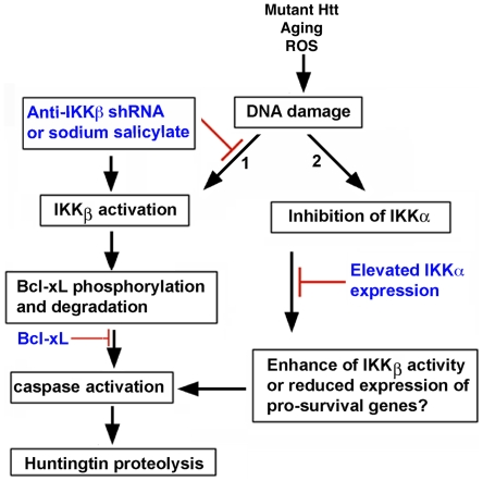 A schematic diagram showing a potential signaling pathway for IKKβ-mediated Htt proteolysis in MESC2.10 neurons. (A) DNA damage activates IKKβ, which can phosphorylate Bcl-xL and enhance its degradation (arrow 1). Reduction of Bcl-xL levels triggers the activation of caspases, which cleaves Htt. IKKβ inhibition block degradation of Bcl-xL, caspases activation, and proteolysis of Htt. Similar to the inhibition of IKKβ, elevation of Bcl-xL also prevents caspase activation and Htt proteolysis. On the other hand, etoposide treatment reduces the activity of IKKα (arrow 2). This may enhance IKKβ activation and/or block expression of neuroprotective proteins that are essential for interfering with caspase activation and maintaining Htt levels. Elevated IKKα expressed from a lentivirus overcomes these deficiencies and prevents Htt proteolysis.